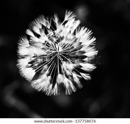 Dandelion abstract closeup black and white monochrome - stock photo