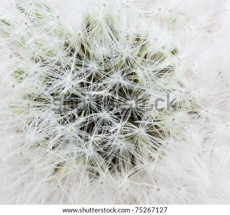 Dandelion abstract closeup white background, See my portfolio for more