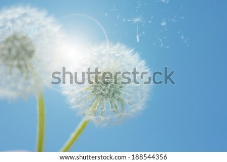 Dandelion against blue sky in spring season - stock photo