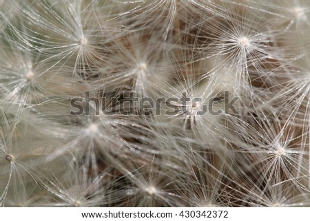 Dandelion air fluff on dark background - stock photo
