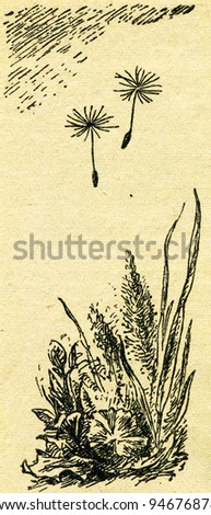 """dandelion  - an illustration from the book """"In the wake of Robinson Crusoe"""", Moscow, USSR, 1946. Artist Petr Pastukhov - stock photo"""