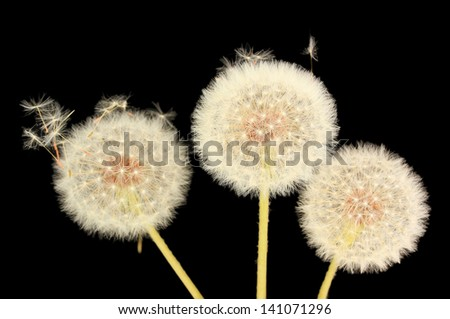 Dandelion and flying seeds on black background - stock photo
