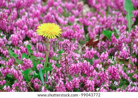 dandelion and heather - stock photo