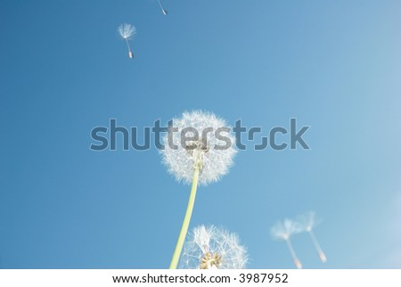 Dandelion and parachutes in blue sky - stock photo