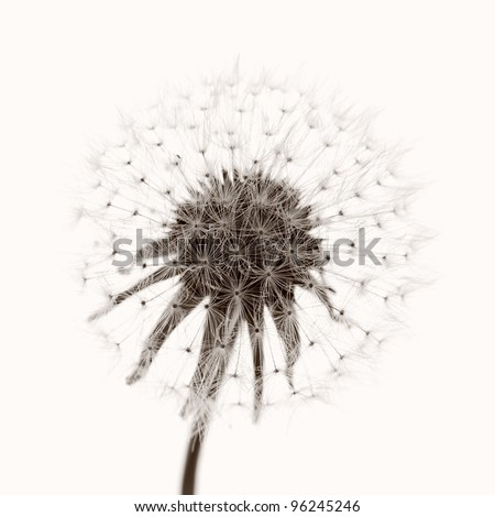 Dandelion and seeds, colored black and white photo. - stock photo