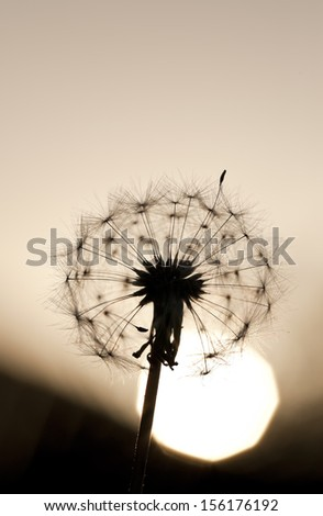 Dandelion as the sun sets behind it. - stock photo