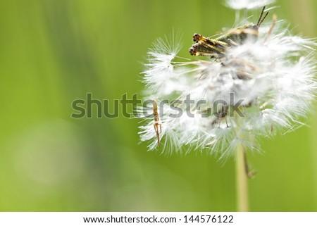 Dandelion (blowball) with hidden grasshopper - stock photo
