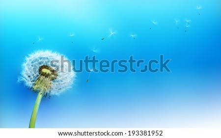 Dandelion blowing seeds in the wind against a blue background - stock photo