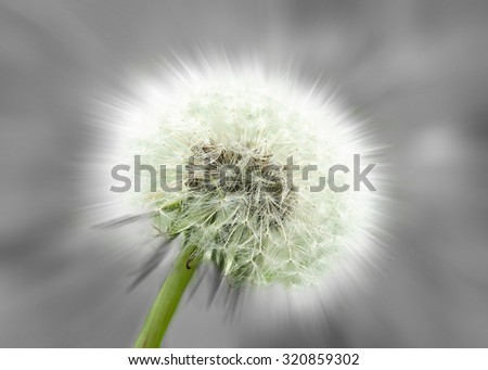 Dandelion Clock, abstract, black and white and color. Close-up of a dandelion clock against a gray background, partly with colors. Abstract variation,soft-focus effect.  - stock photo