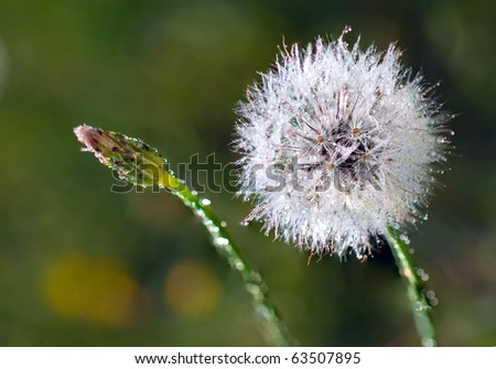 Dandelion 'clock'  and dandelion bud covered with dew. Selective focus - stock photo