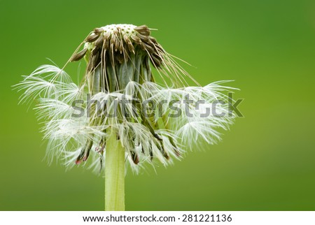 Dandelion Clock Close-up of a dandelion clock against a green background. - stock photo