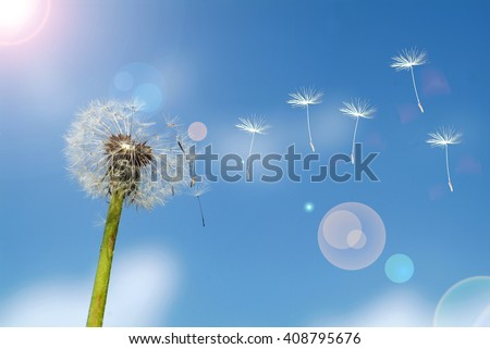 Dandelion clock dispersing seed - stock photo