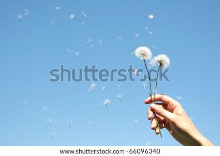 Dandelion Clocks in woman's hand against blue sky - stock photo