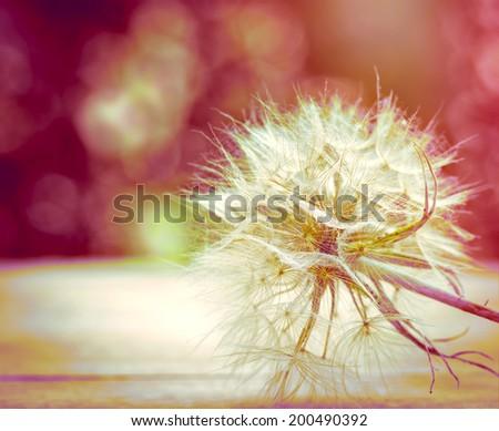 Dandelion - dandelion seeds - stock photo