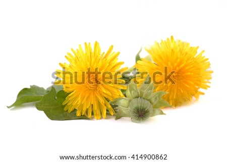 Dandelion. Dandelion - spring flowers. Fresh dandelions. Dandelions on white background. Dandelion isolated on white. Healthy dandelion. Dandelion with leaves. Dandelions yellow flowers.  - stock photo