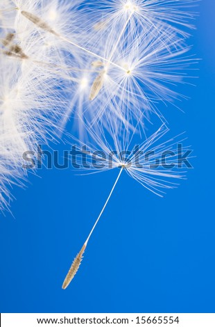 dandelion detail isolated on blue background - stock photo