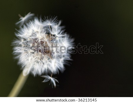 Dandelion dispersing seeds against dark background. selective focus. - stock photo
