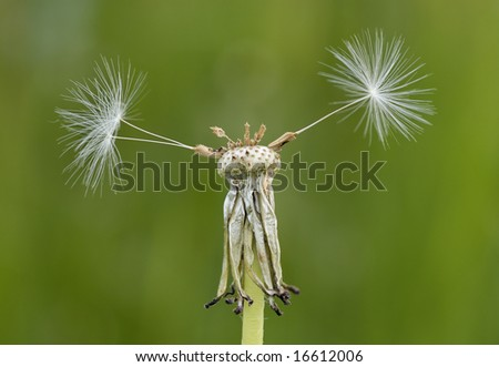 Dandelion finished flowering with three lonely seeds remaining against a green background - stock photo