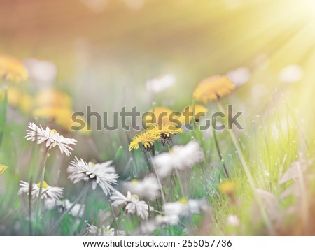 Dandelion flower and daisy flower - stock photo