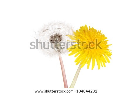 Dandelion flower and seeds - stock photo
