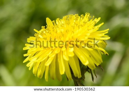 Dandelion flower close up - stock photo
