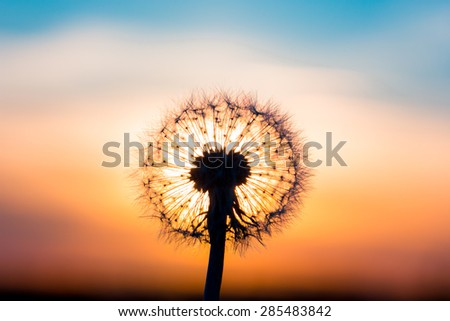 Dandelion flower fused with sunset looking like a bulb