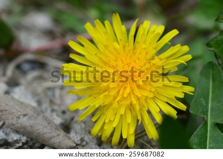 Dandelion flower in natural habitat - stock photo