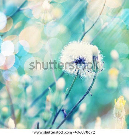 Dandelion flower in summer. Filtered image. - stock photo