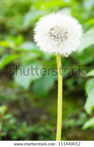 Dandelion flower in the bright light of the sun