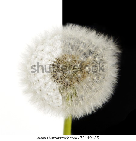 dandelion flower isolated half on white and black - stock photo
