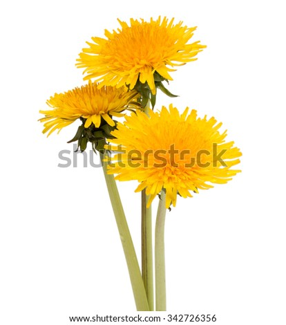 Dandelion flower isolated on white background cutout - stock photo