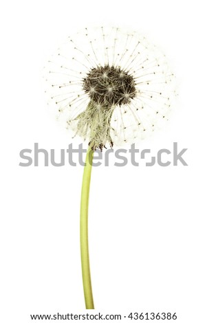Dandelion Flower Isolated on White Background. Summer Blowball
