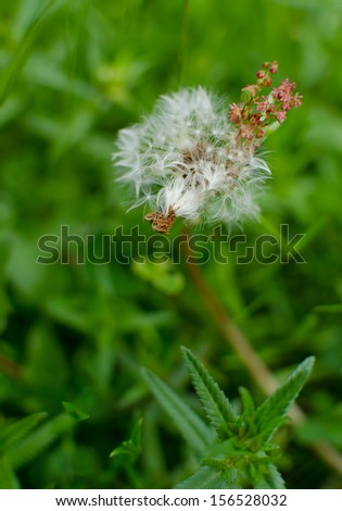 Dandelion flower on meadow