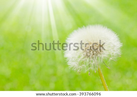 Dandelion flower over green field background with copy space - stock photo