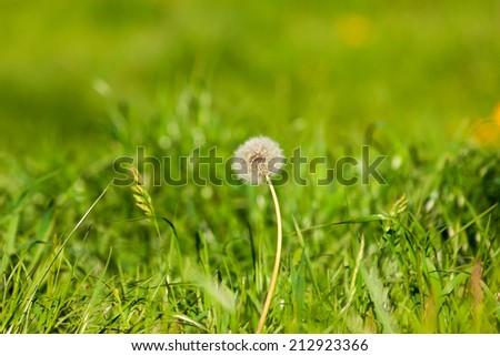 dandelion flower over green summer grass background - stock photo