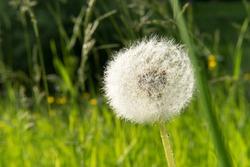 Dandelion free stock photo by pixabay on stockvault dandelion flower white smooth nature silk mightylinksfo