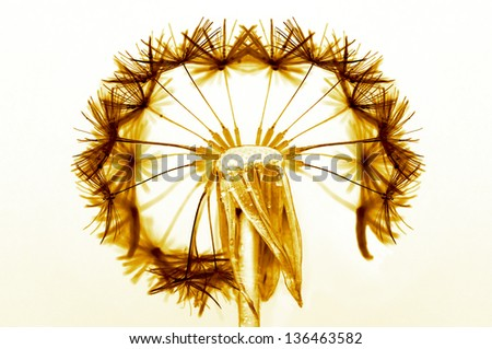 Dandelion flower with partially blown pappus on white background and orange lighting - stock photo