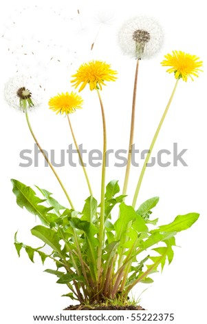 Dandelion flowers and flying seeds. Isolated on white. - stock photo