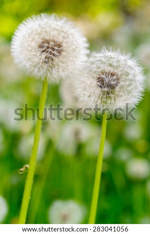 Dandelion flowers in a field, close-up