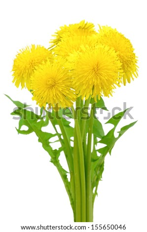 Dandelion flowers isolated on a white background - stock photo