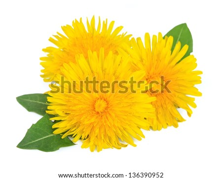 Dandelion flowers with leaves - stock photo