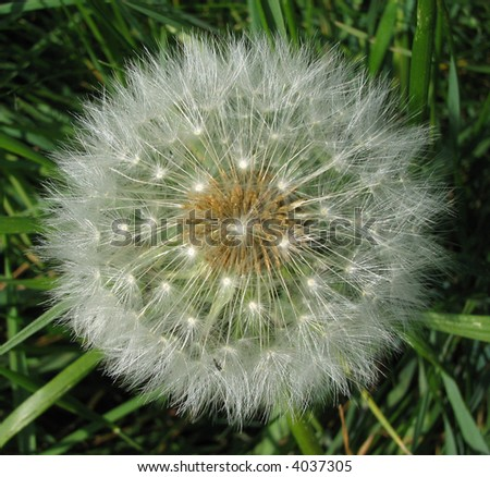 Dandelion from above, amongst grass. - stock photo