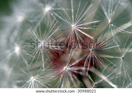 Dandelion full seed head with blurred natural background.