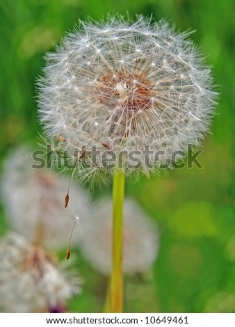 dandelion head with seed gone with the wind - stock photo
