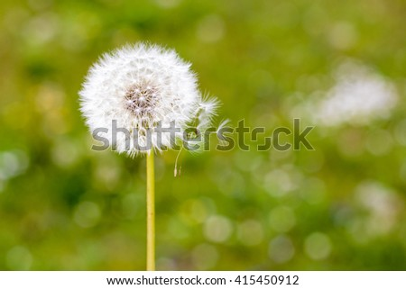 Dandelion in a green grass - stock photo