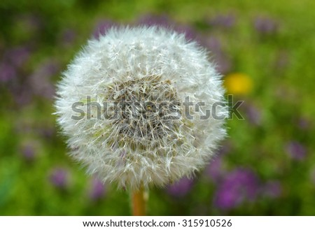 Dandelion in colorful meadow background - stock photo