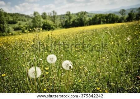 Dandelion in flowery filed in spring in Italy - stock photo