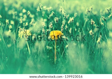 dandelion in green grass - stock photo