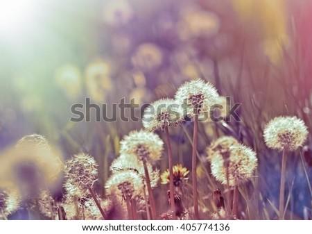 Dandelion in meadow, in spring - dandelion seeds - stock photo