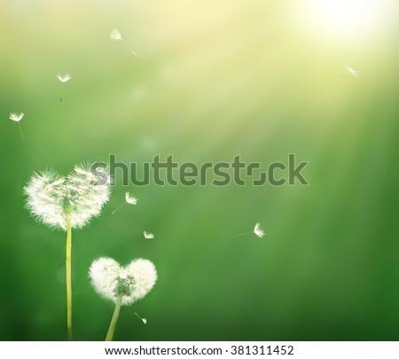 dandelion in shape of a heart  - stock photo